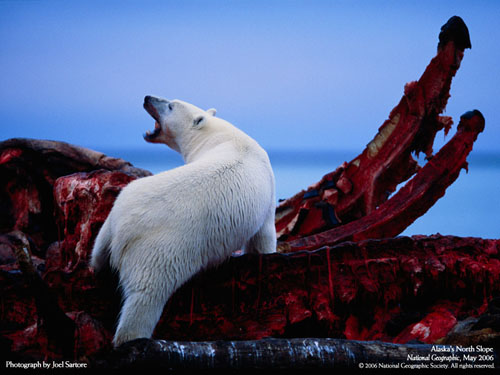 Polar Bears kill whales